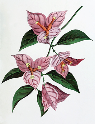Bougainvillia garba