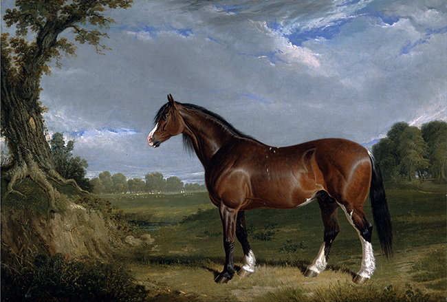 Semental Clydesdale