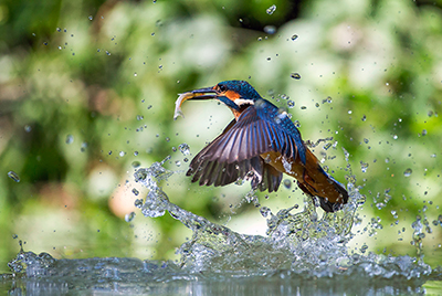 Kingfisher III