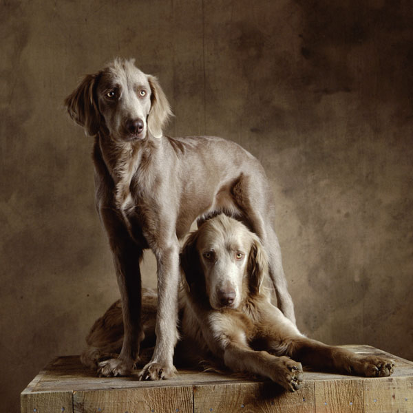 Long Haired Weimaraners