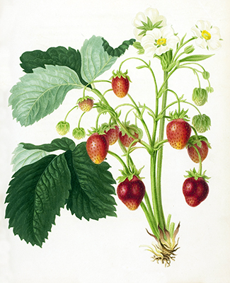 The Roseberry Strawberry