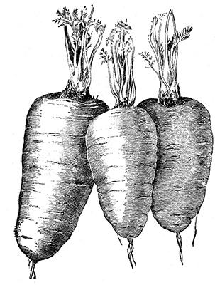 Zanahorias Blanco y Negro
