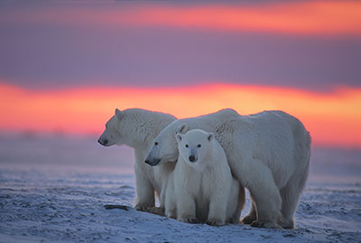 Tres osos Polares