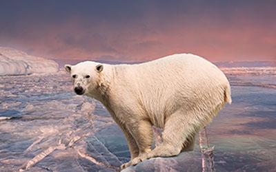 Oso Polar I