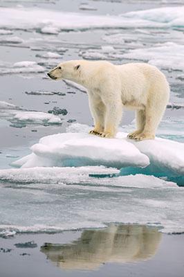 Oso Polar II
