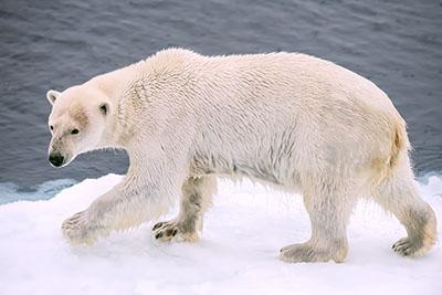 Oso Polar III